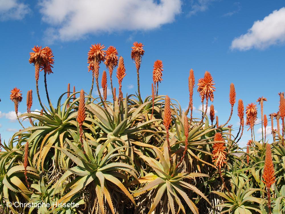 Aloe arborescens, Fuerteventura