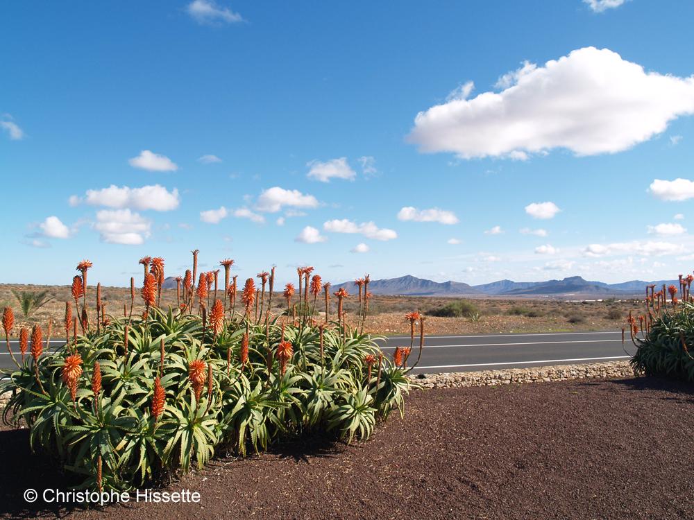 Aloès arborescent, Fuerteventura