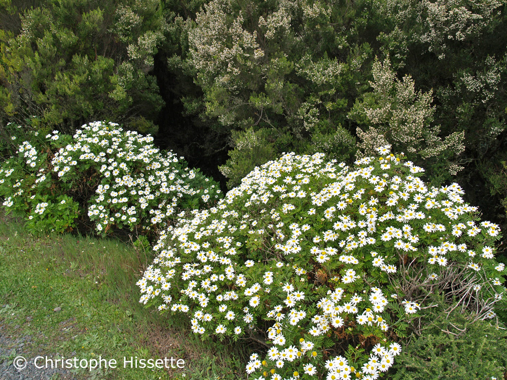 Argyranthemum Callichrysum La Gomera