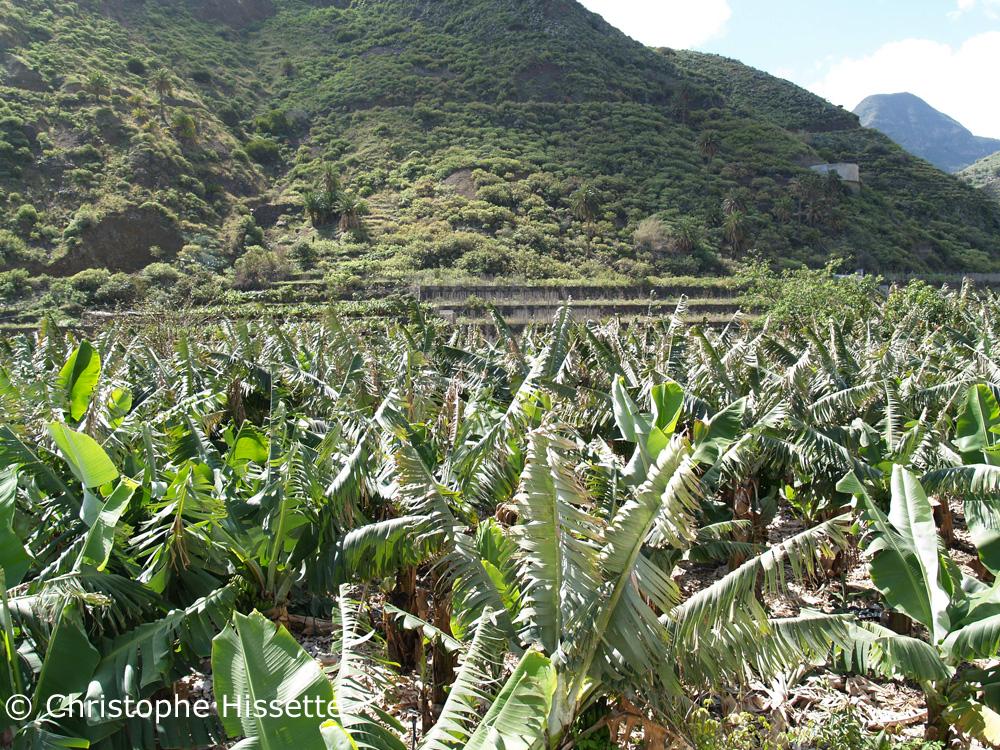 Banana plantation La Gomera