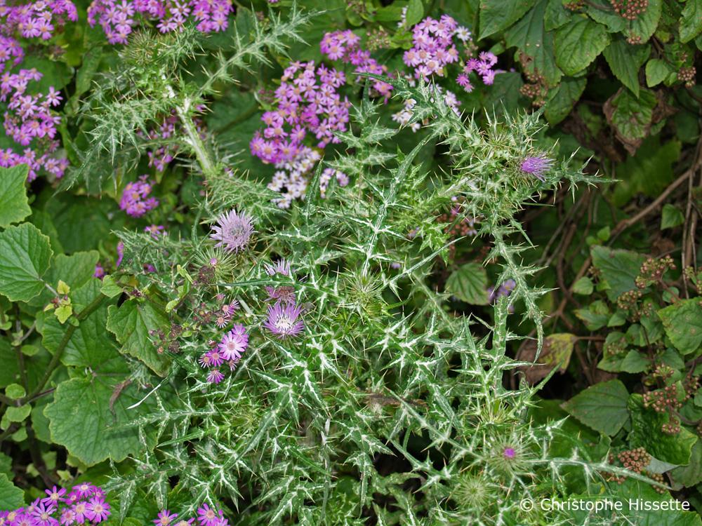 Galactites Tomentosa en fleurs La Gomera