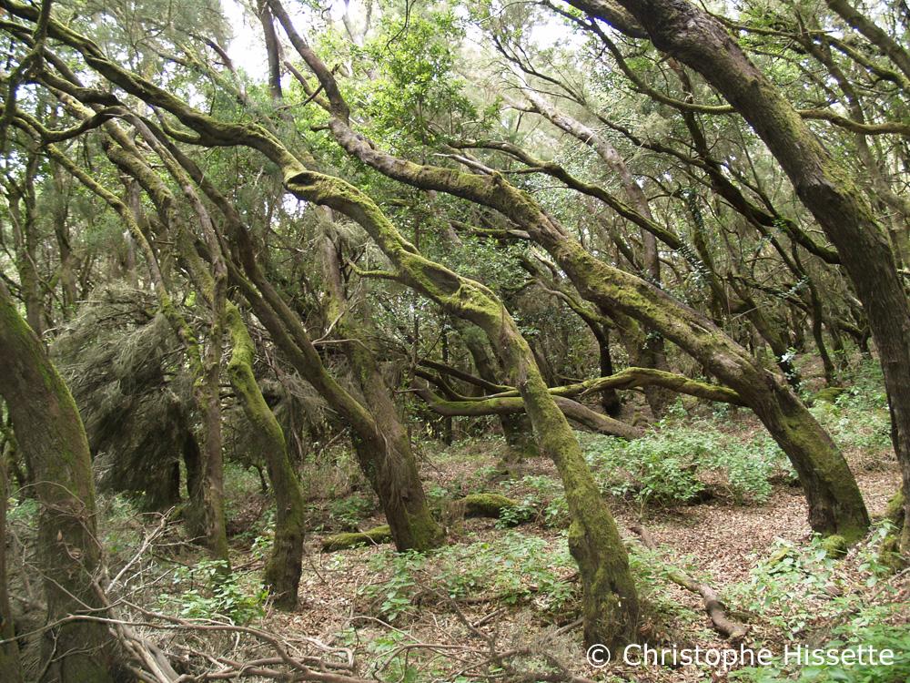 Forêt de lauriers Laurisylve Ocotea Foetens La Gomera