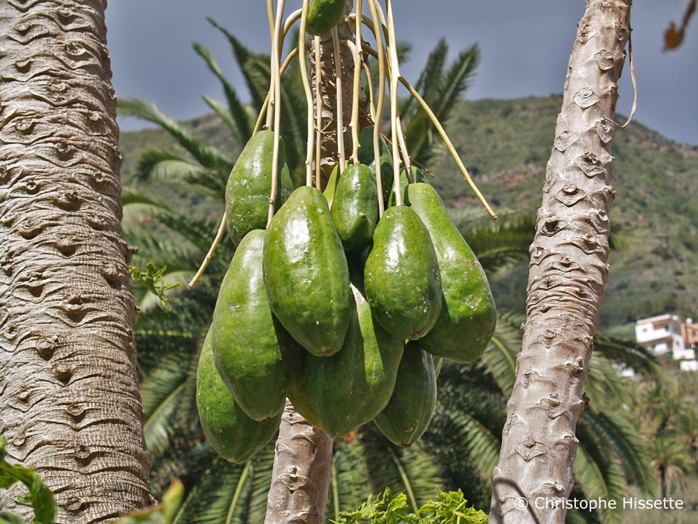 Papaya La Gomera