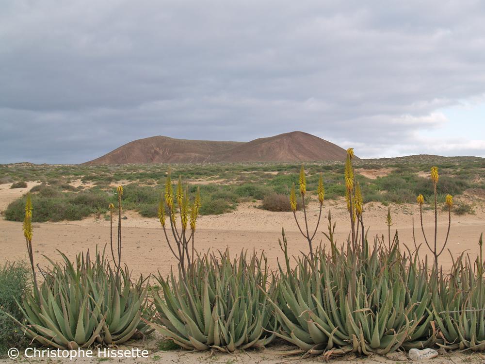 Aloe Vera en fleurs, La Graciosa