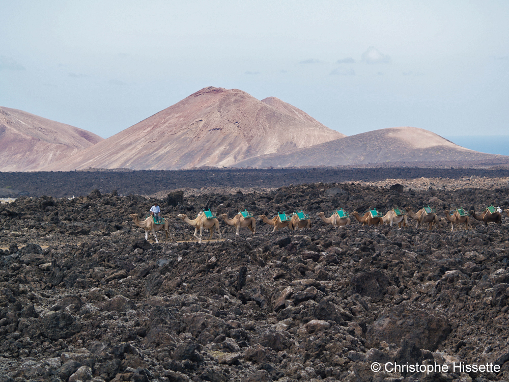 Dromedaries in the Timanfaya National Park, Lanzarote