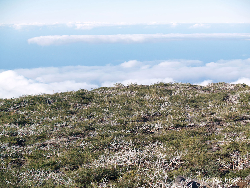 Genista Benehoavensis, Caldera de Taburiente National Park, La Palma