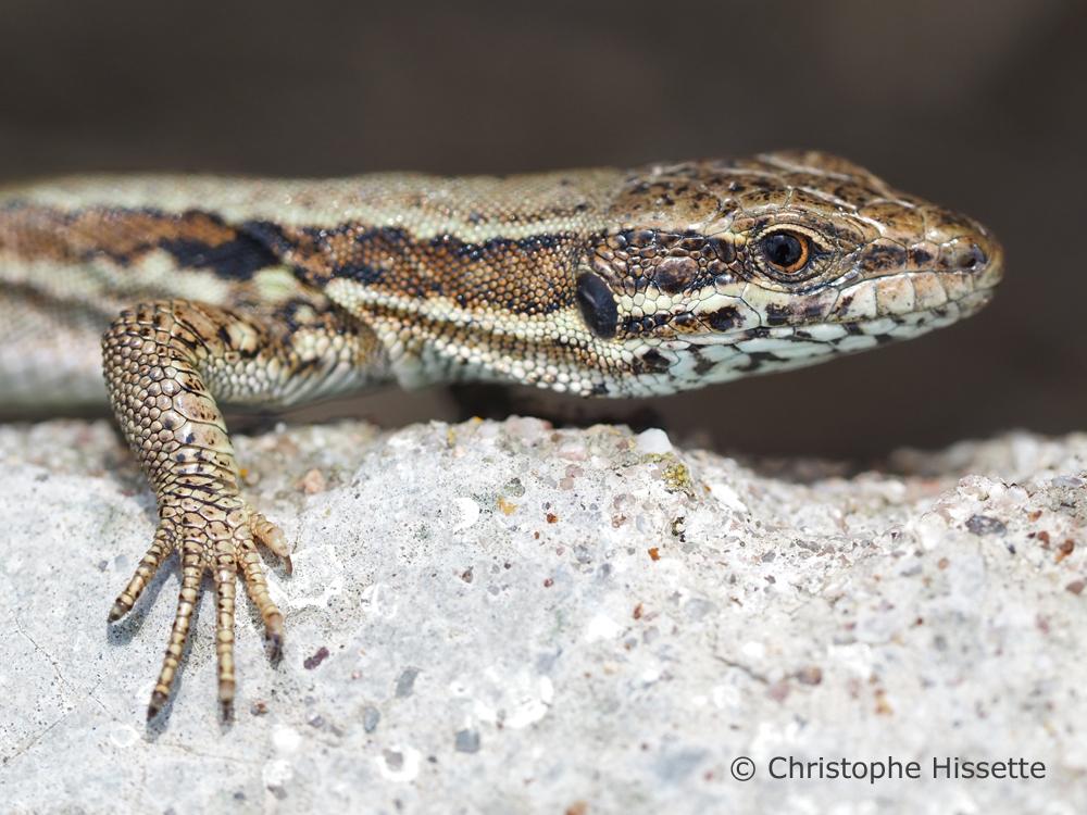 Common wall lizard, Wintrange, Luxembourg