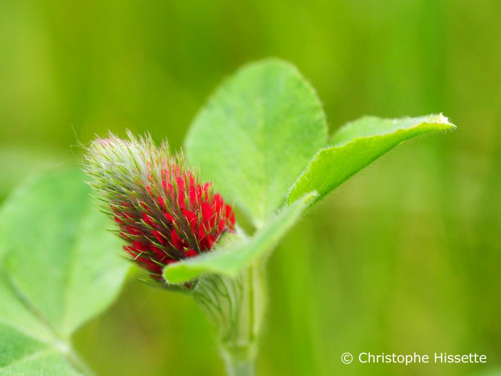 Crimson clover, Nature Reserve Haff Réimech, Luxembourg