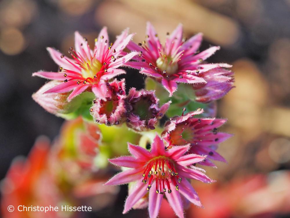 Houseleek flowers