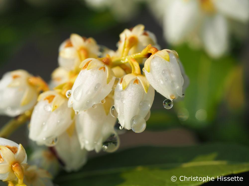 Fleurs d'Andromède du Japon