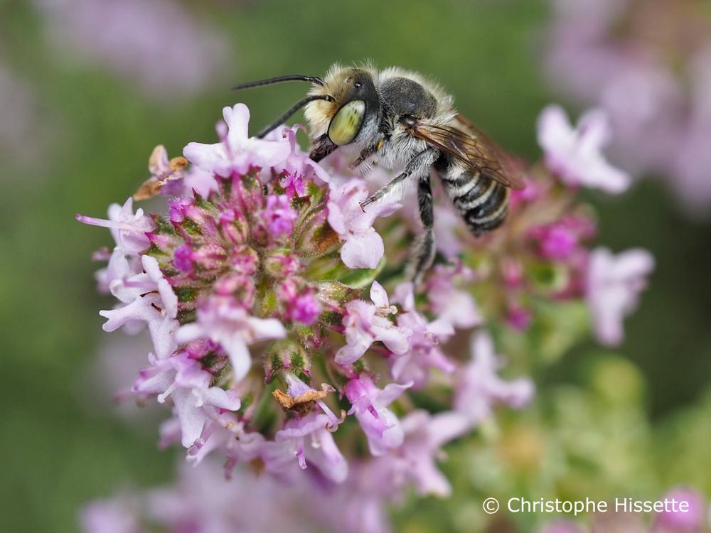 Little flower bee (Anthophora bimaculata)