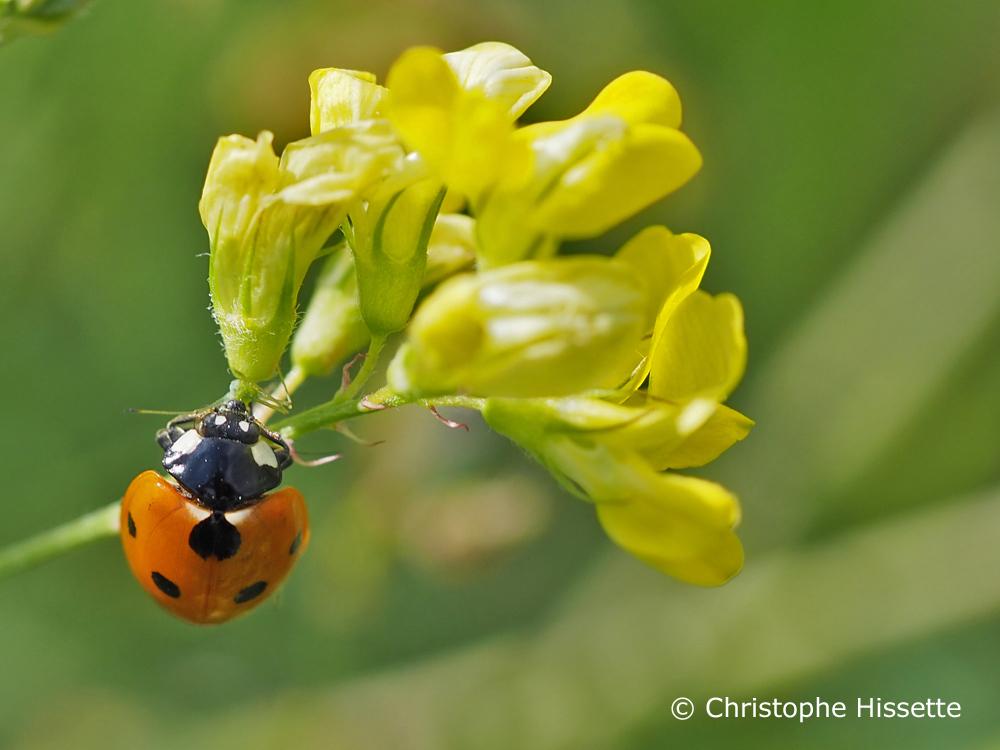 Seven spot ladybird, Nature Reserve Haff Réimech, Luxembourg