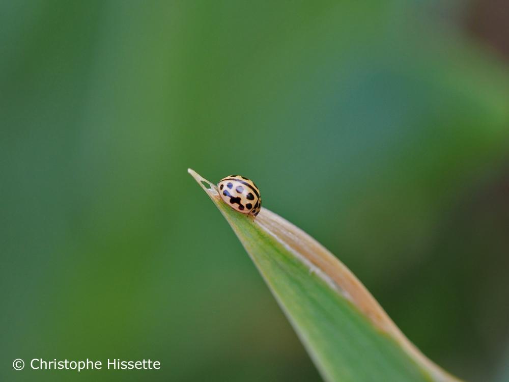 Sixteen-spot ladybird