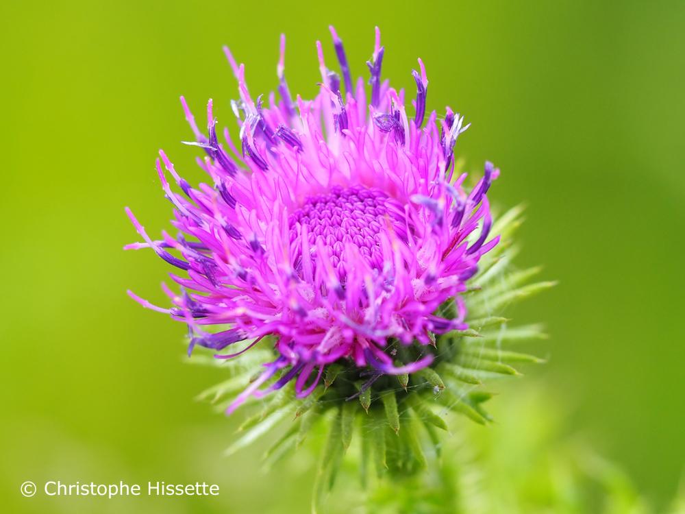 Thistle flower, Nature Reserve Haff Réimech, Luxembourg