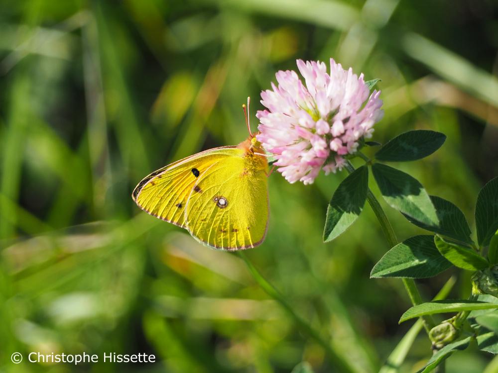 Papillon souci, Réserve Naturelle Haff Réimech, Luxembourg
