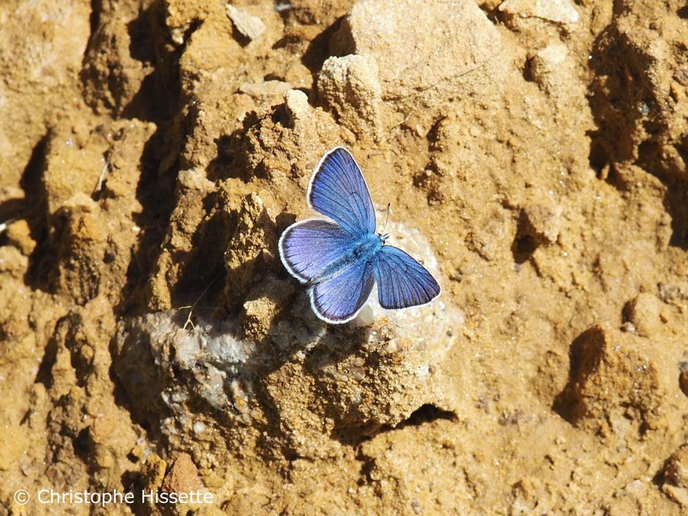 Argus bleu, Réserve Naturelle Haff Réimech, Luxembourg