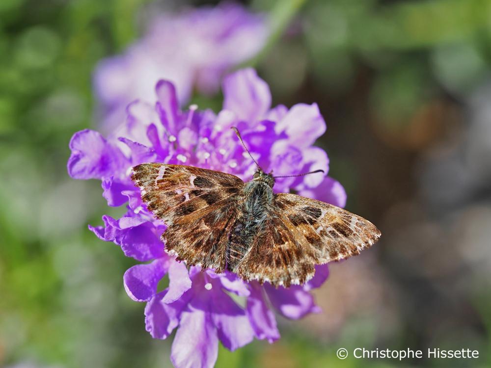 Hespérie de l'Alcée ou papillon Grisette