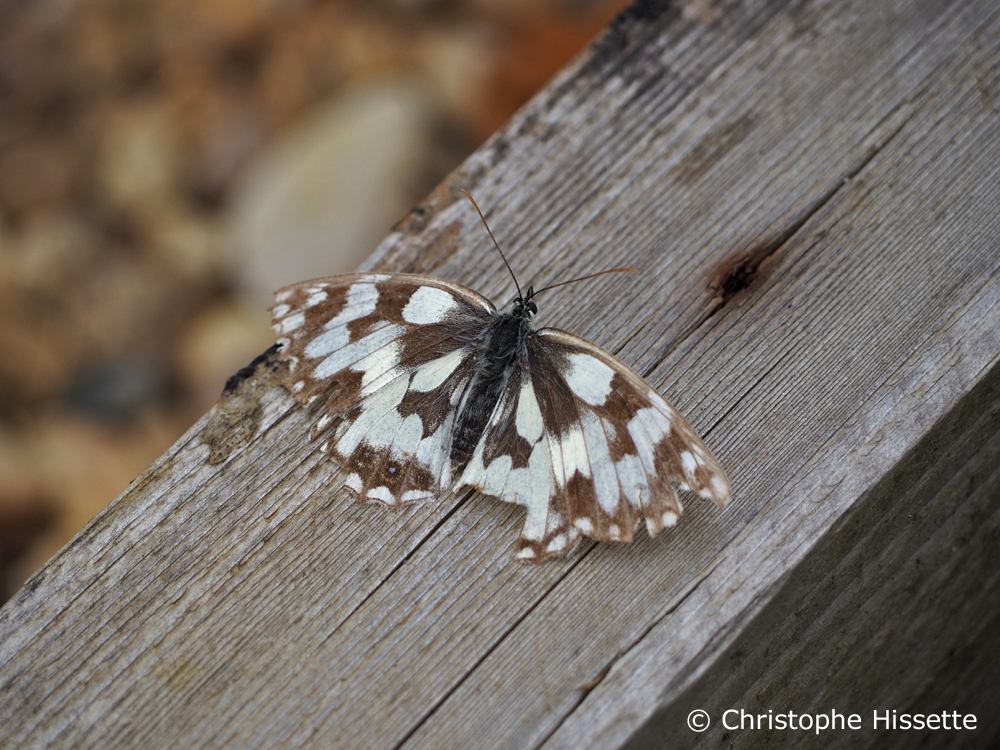 Papillon Demi-deuil, Réserve Naturelle Haff Réimech, Luxembourg