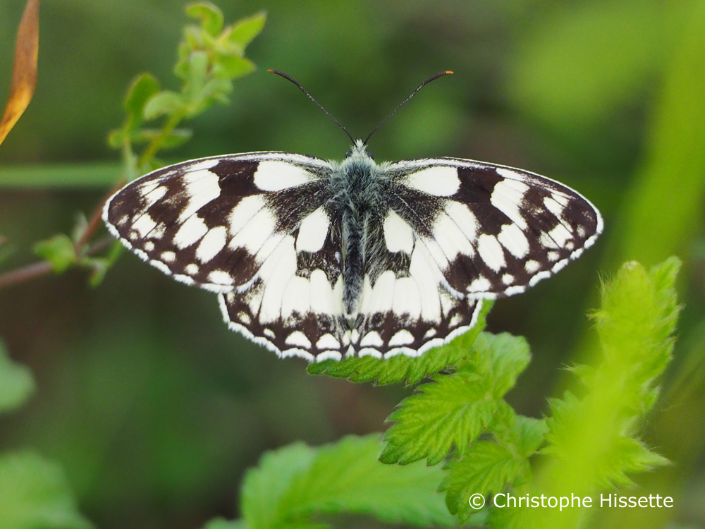 Marbled white, Nature Reserve Haff Réimech, Luxembourg