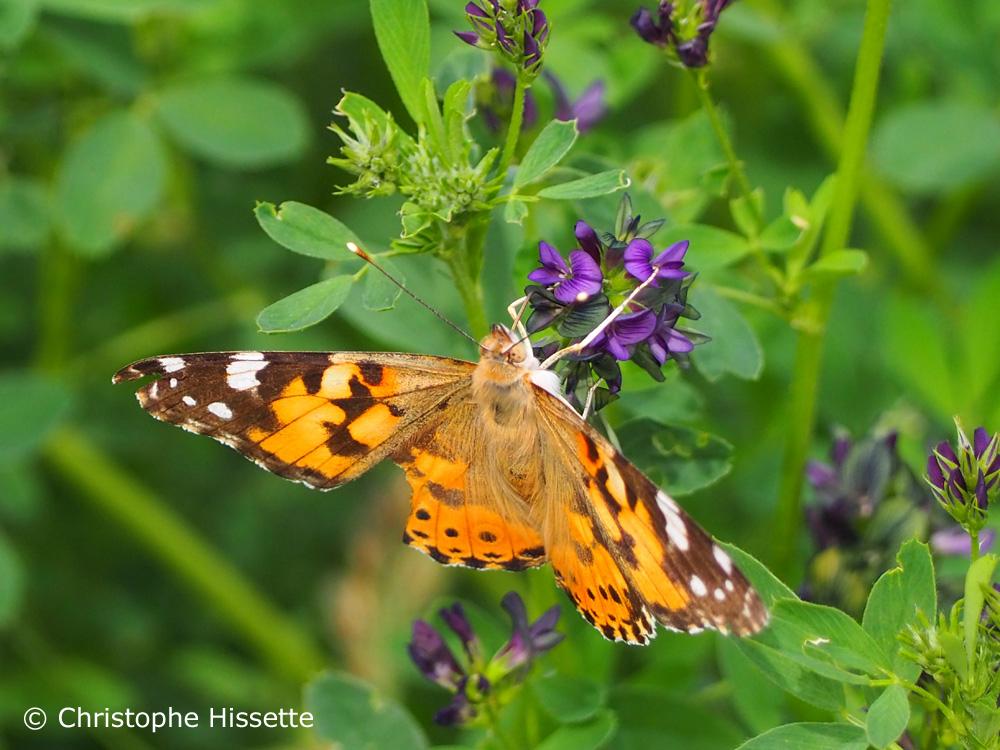 Papillon Belle-Dame, Réserve Naturelle Haff Réimech, Luxembourg