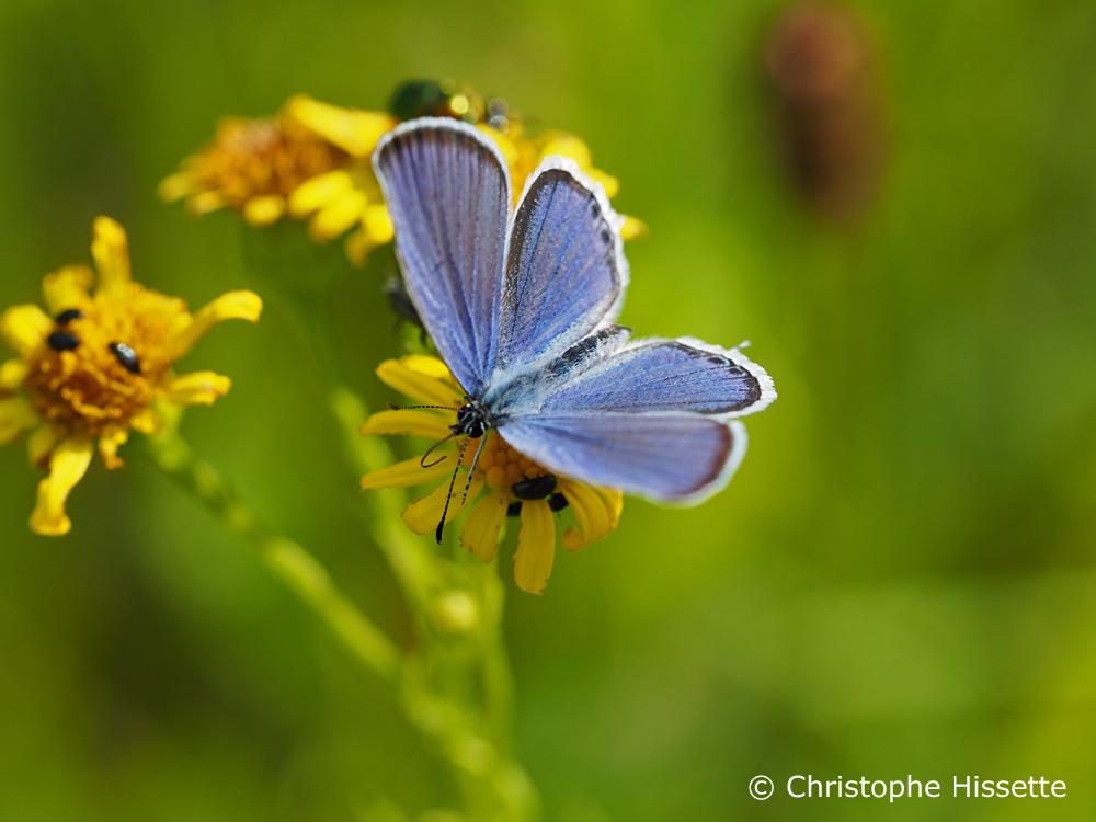 Short tailed blue, Nature Reserve Haff Réimech, Luxembourg