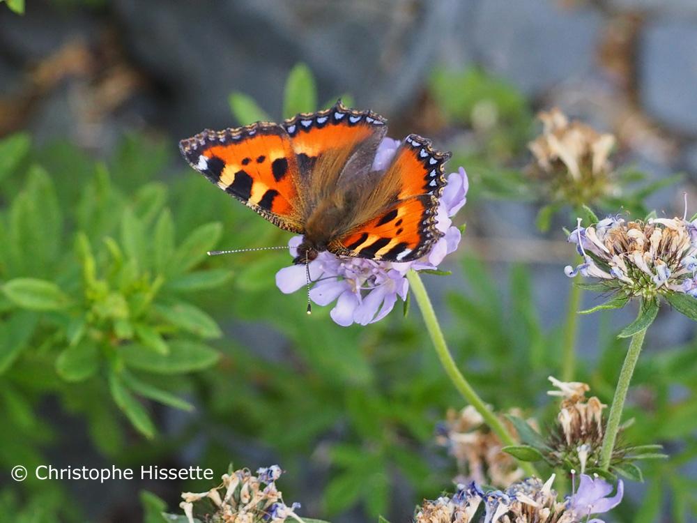 Papillon Petite tortue, Réserve Naturelle Haff Réimech, Luxembourg