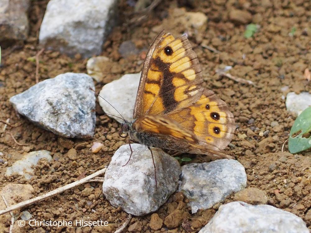 Papillon Satyre, Réserve Naturelle Haff Réimech, Luxembourg