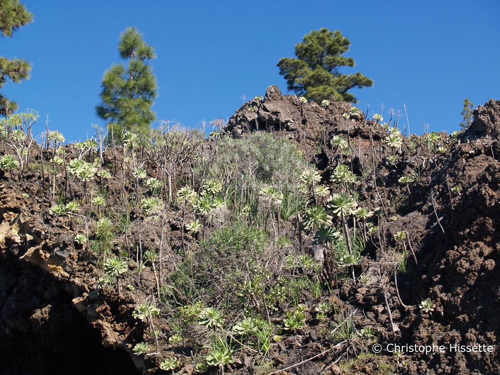 Aeonium Urbicum, Parc National du Teide, Tenerife