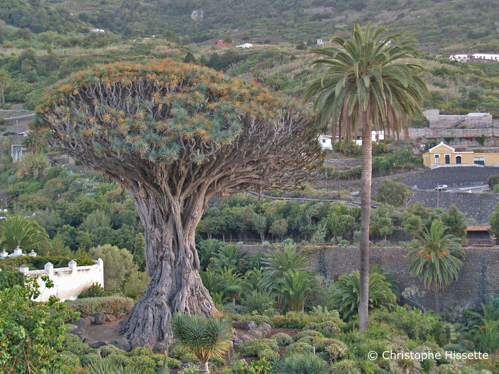 The Thousand-Year-Old Canary Islands dragon tree, Icod de los Vinos, Tenerife