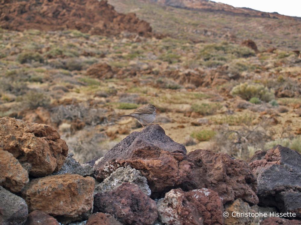 Pipit de Berthelot, Parc National du Teide, Tenerife