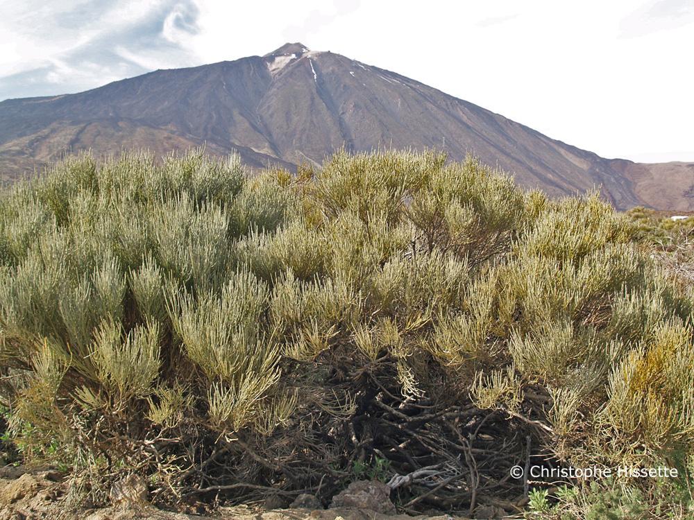 Spartocytisus Supranubius, Teide National Park, Tenerife